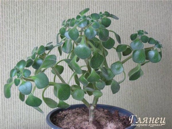 фото дерево счастья растение комнатное
