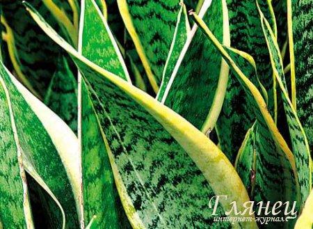 Комнатные растения теневыносливые