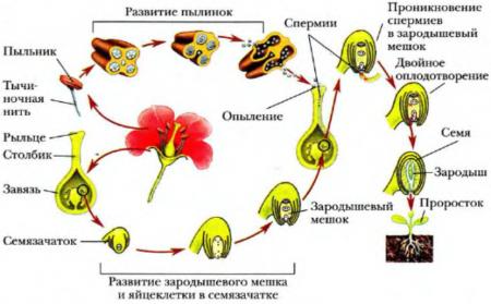 Из оплодотворенной яйцеклетки растений образуется фото