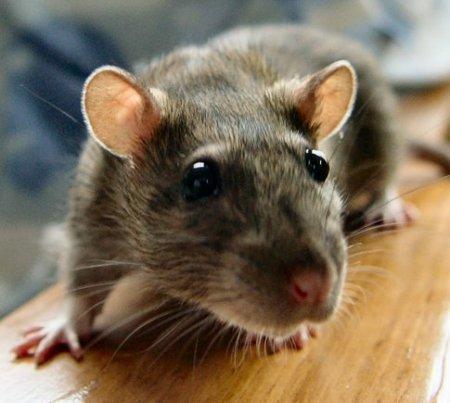 Если приснилась крыса, что это значит фото