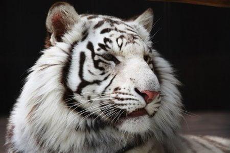 Приснился белый тигр фото