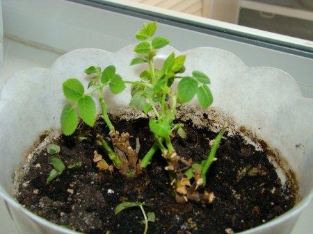 Мошки в земле комнатных растений фото