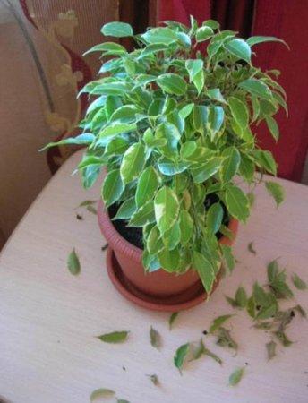 Почему опадают листья у фикуса фото