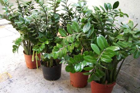 Замиокулькас – уход в домашних условиях, условия выращивания и размножение.