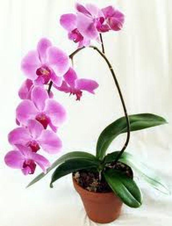 дендрофаленопсис орхидеи уход и размножение в домашних условиях фото