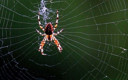 Сонник Ванги – паук фото