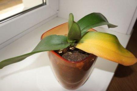 Почему у орхидеи желтеют листья фото
