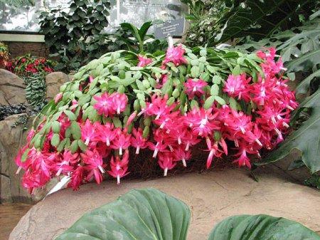 Цветок декабрист – как ухаживать в домашних условиях, как размножается декабрист?