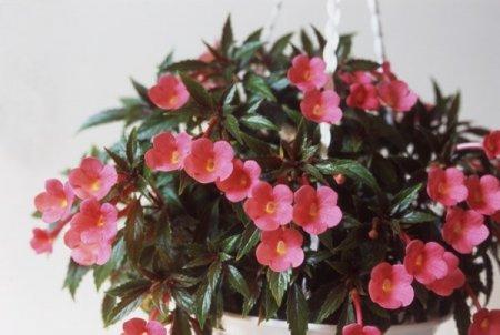 Тенелюбивые комнатные цветы. Какие цветы растут при недостаточном освещении?
