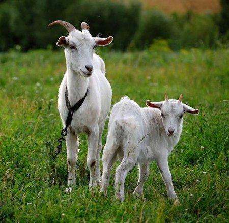 Со скольки месяцев можно давать козье молоко ребенку фото