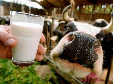 молоко нос коровы